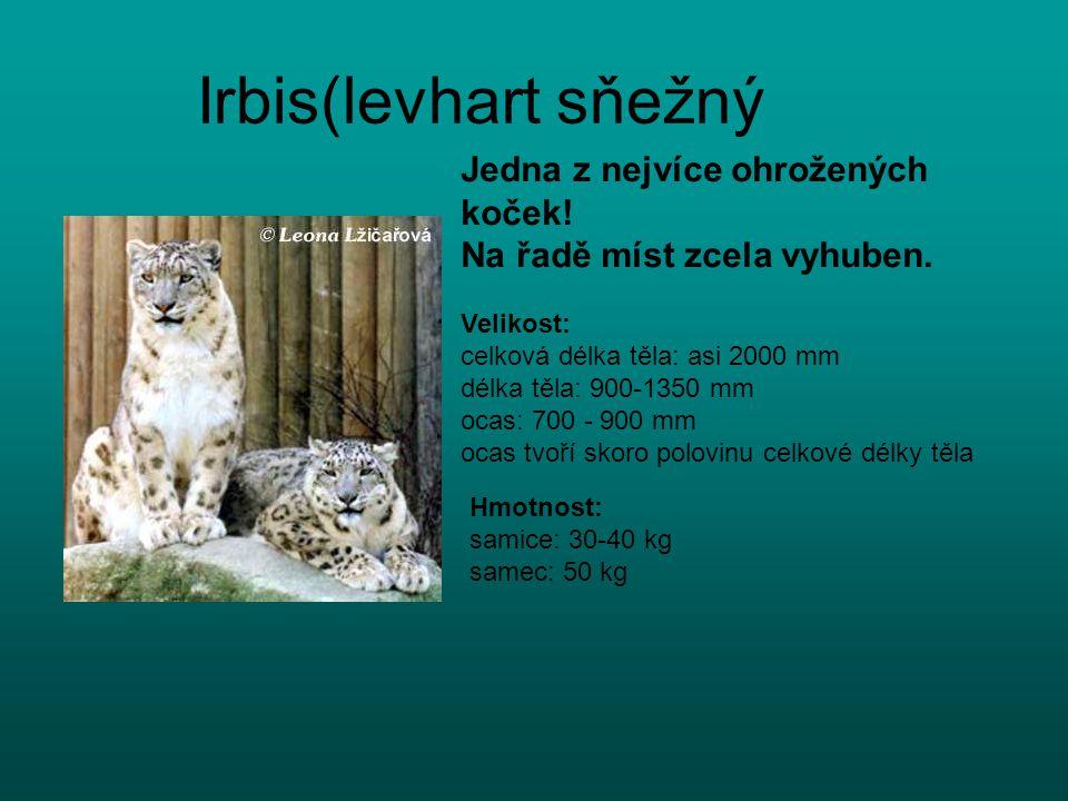 Irbis(levhart sňežný