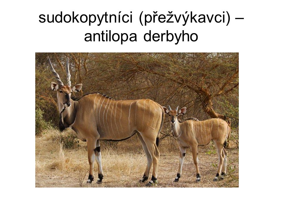 sudokopytníci (přežvýkavci) – antilopa derbyho
