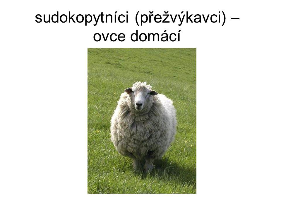 sudokopytníci (přežvýkavci) – ovce domácí