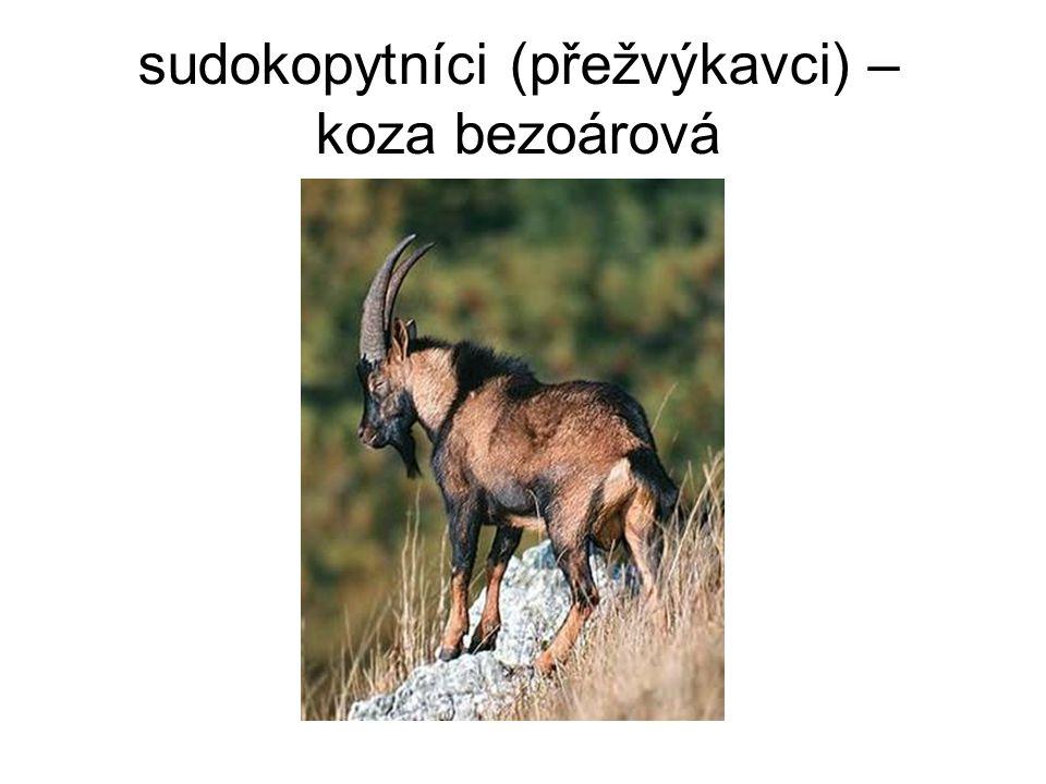 sudokopytníci (přežvýkavci) – koza bezoárová
