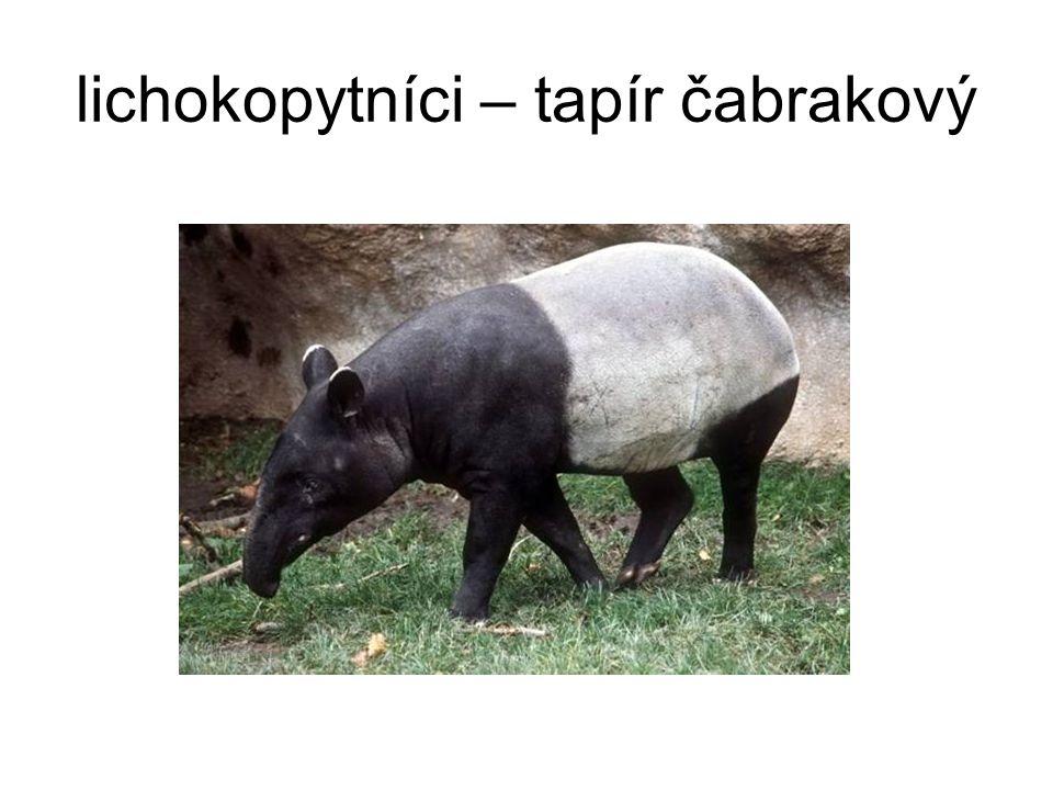 lichokopytníci – tapír čabrakový