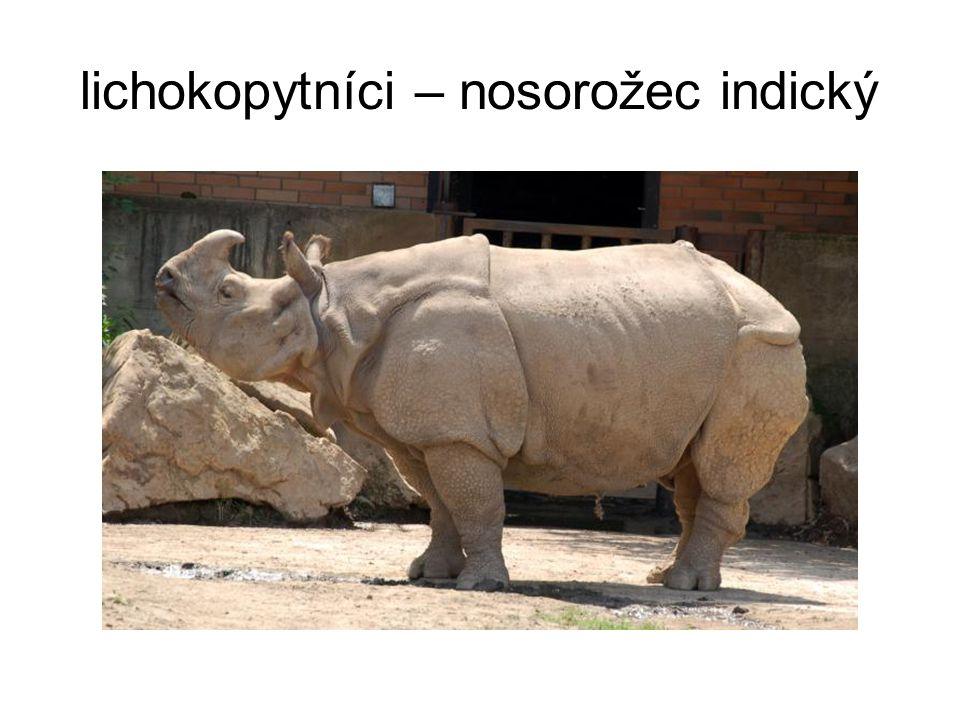 lichokopytníci – nosorožec indický