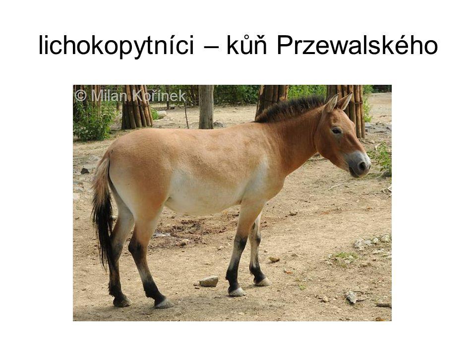 lichokopytníci – kůň Przewalského