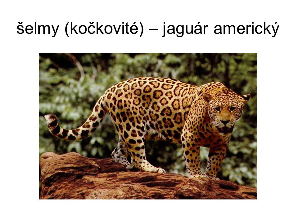 šelmy (kočkovité) – jaguár americký