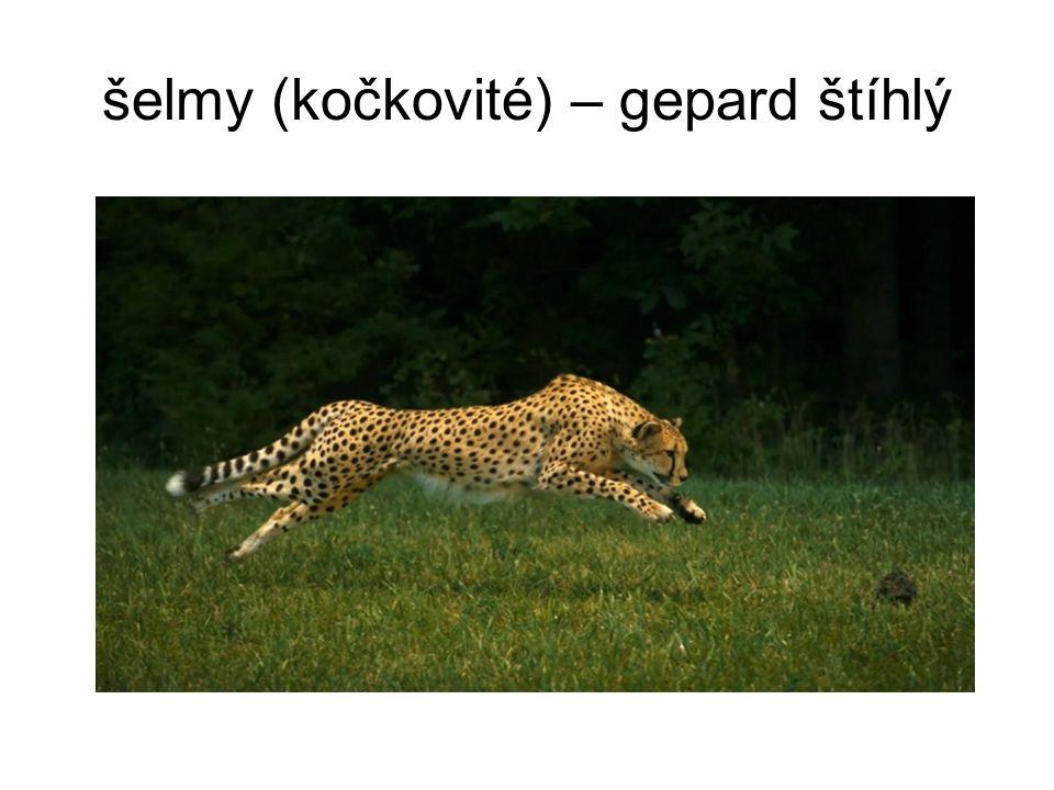 šelmy (kočkovité) – gepard štíhlý
