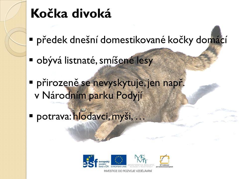 Kočka divoká předek dnešní domestikované kočky domácí