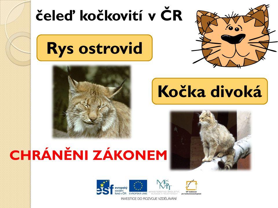 Rys ostrovid Kočka divoká