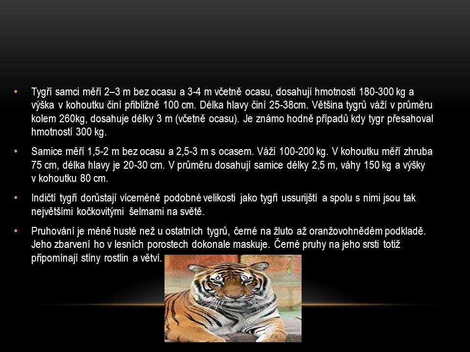 Tygří samci měří 2–3 m bez ocasu a 3-4 m včetně ocasu, dosahují hmotnosti 180-300 kg a výška v kohoutku činí přibližně 100 cm. Délka hlavy činí 25-38cm. Většina tygrů váží v průměru kolem 260kg, dosahuje délky 3 m (včetně ocasu). Je známo hodně případů kdy tygr přesahoval hmotností 300 kg.
