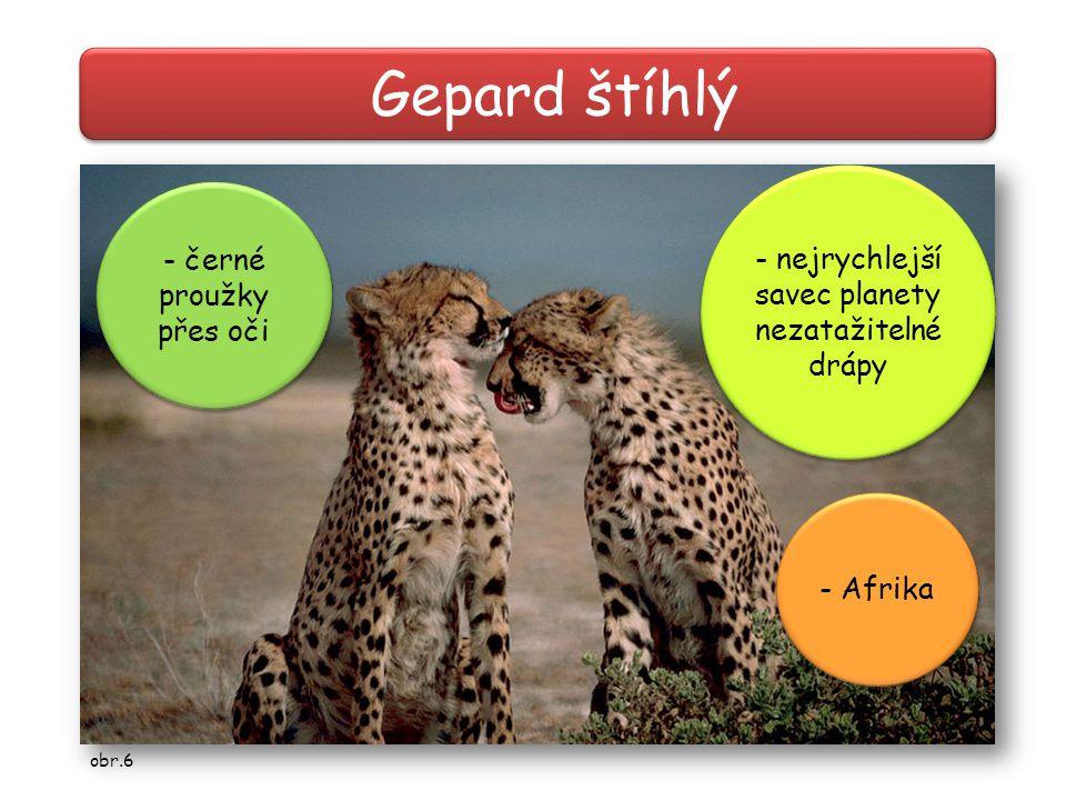 Gepard štíhlý - nejrychlejší savec planety - černé proužky přes oči