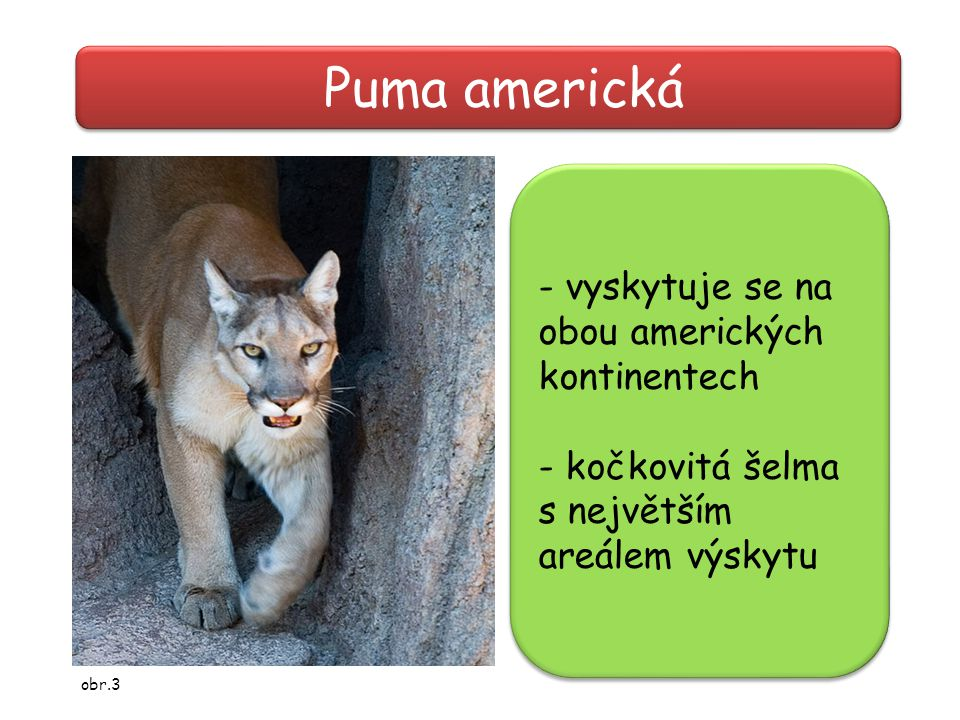 Puma americká - vyskytuje se na obou amerických kontinentech
