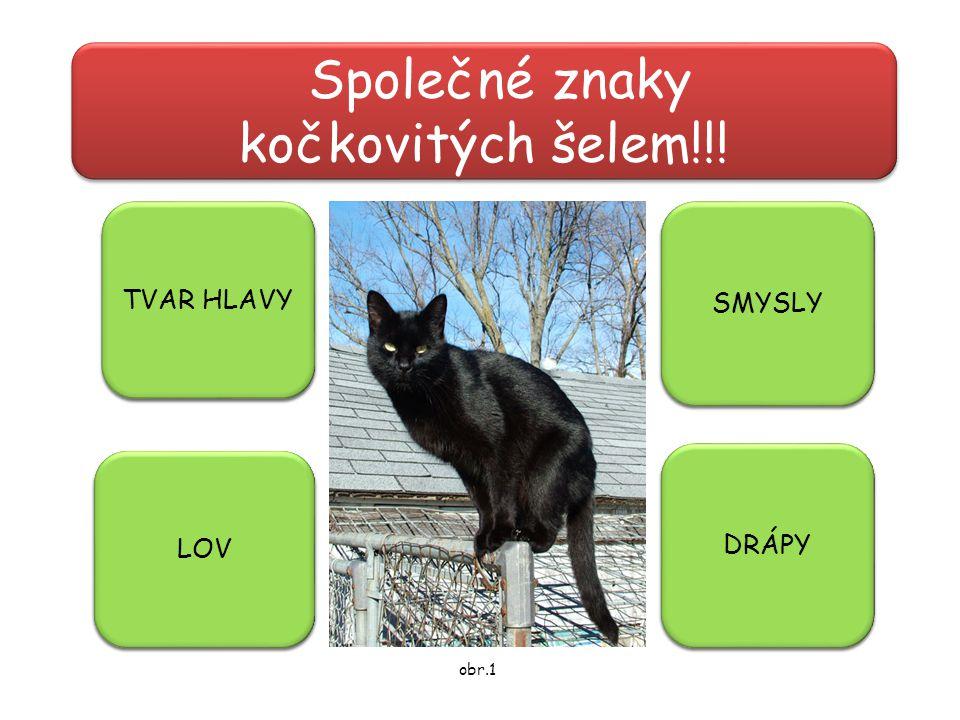 Společné znaky kočkovitých šelem!!! - kulatá hlava TVAR HLAVY