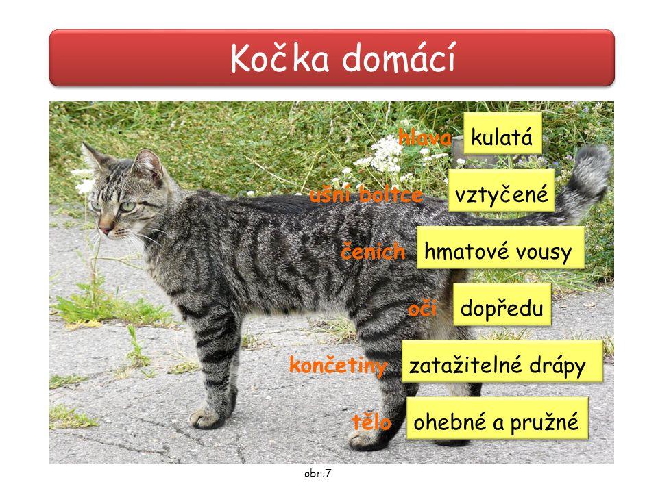 Kočka domácí hlava kulatá ušní boltce vztyčené čenich hmatové vousy