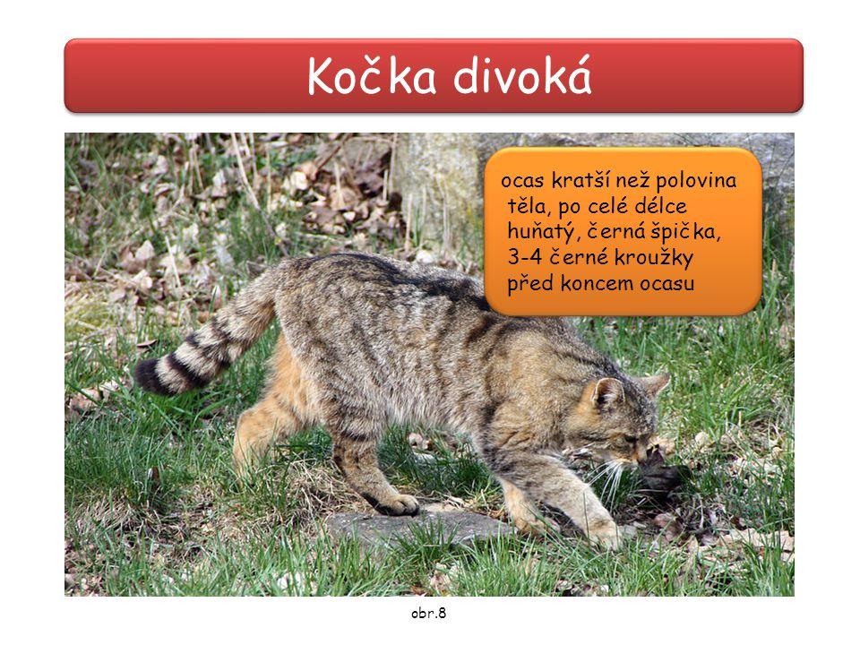 Kočka divoká ocas kratší než polovina těla, po celé délce