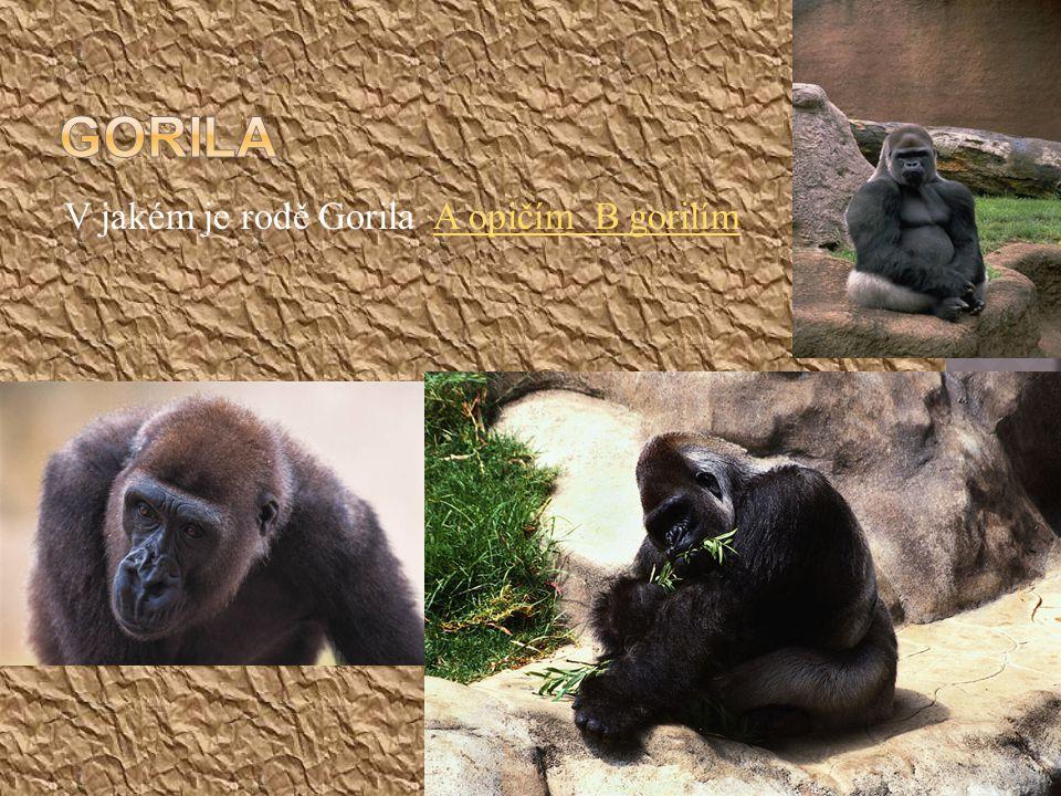 Gorila V jakém je rodě Gorila A opičím B gorilím