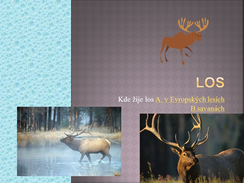 Kde žije los A. v Evropských lesích B.savanách