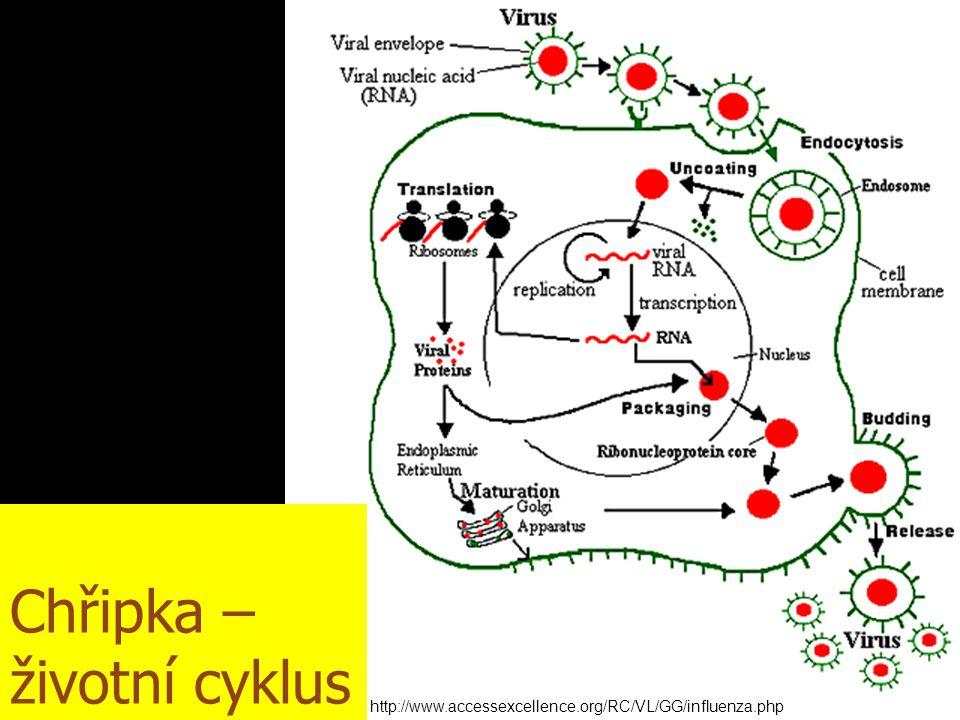 Chřipka – životní cyklus