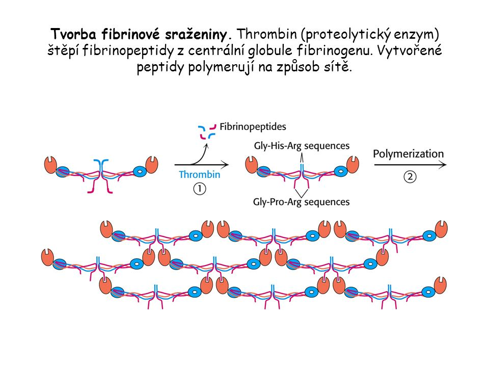 Tvorba fibrinové sraženiny