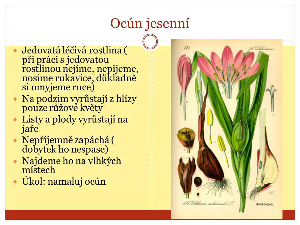 Ocún jesenní Jedovatá léčivá rostlina ( při práci s jedovatou rostlinou nejíme, nepijeme, nosíme rukavice, důkladně si omyjeme ruce)