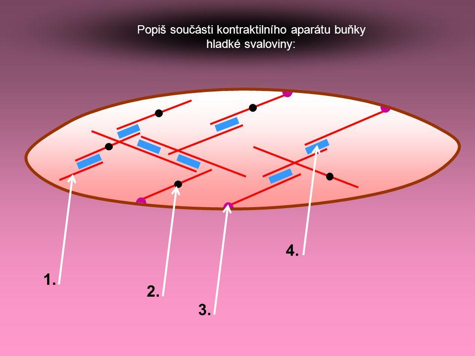 Popiš součásti kontraktilního aparátu buňky hladké svaloviny: