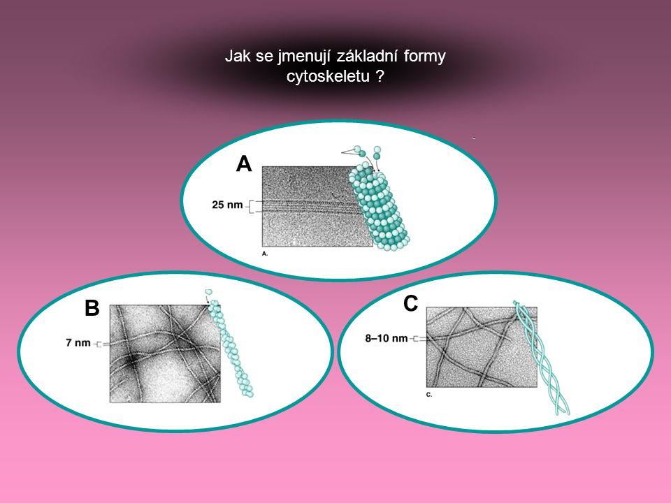 Jak se jmenují základní formy cytoskeletu