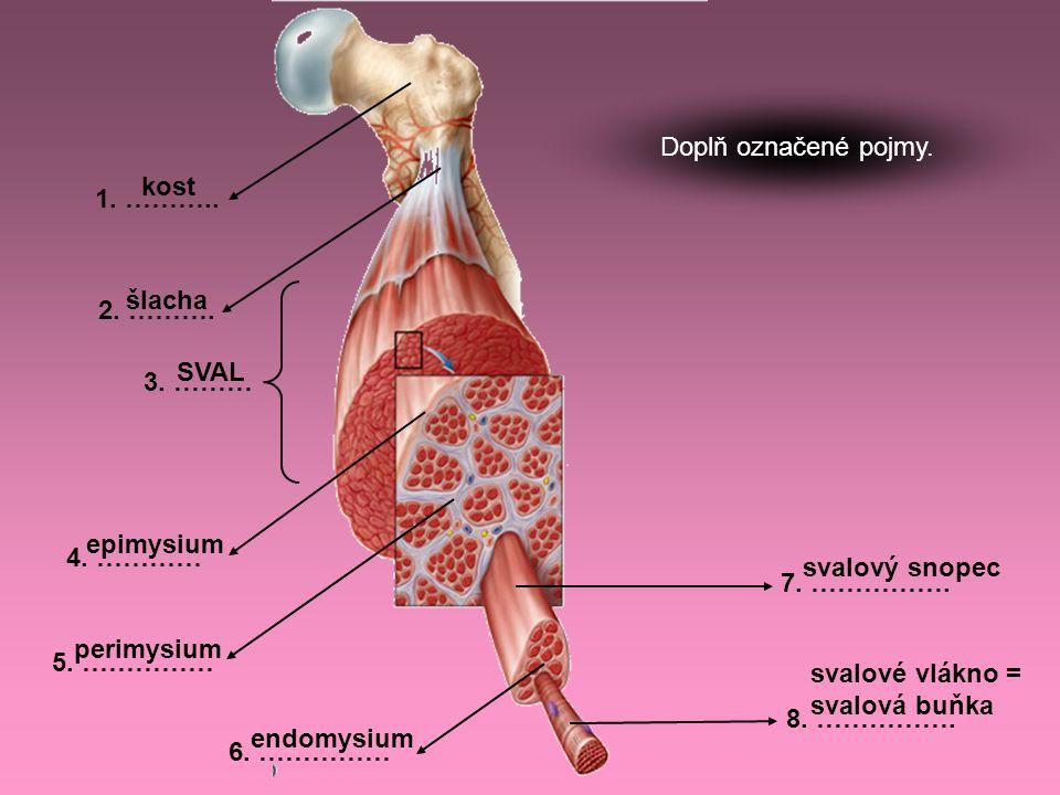 svalové vlákno = svalová buňka