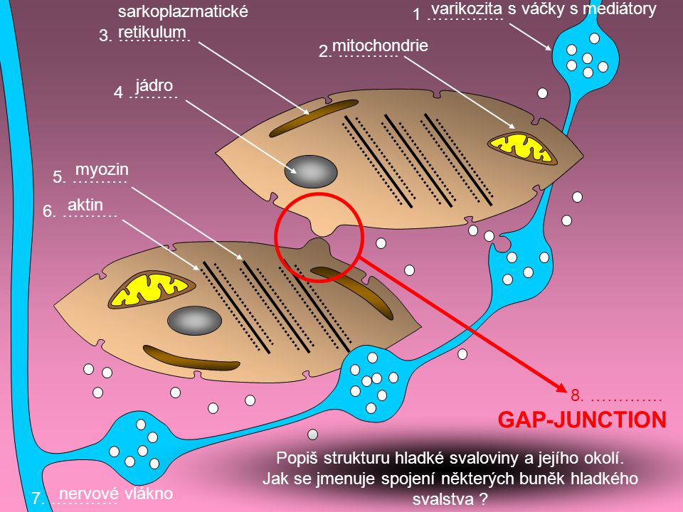 GAP-JUNCTION varikozita s váčky s mediátory sarkoplazmatické retikulum
