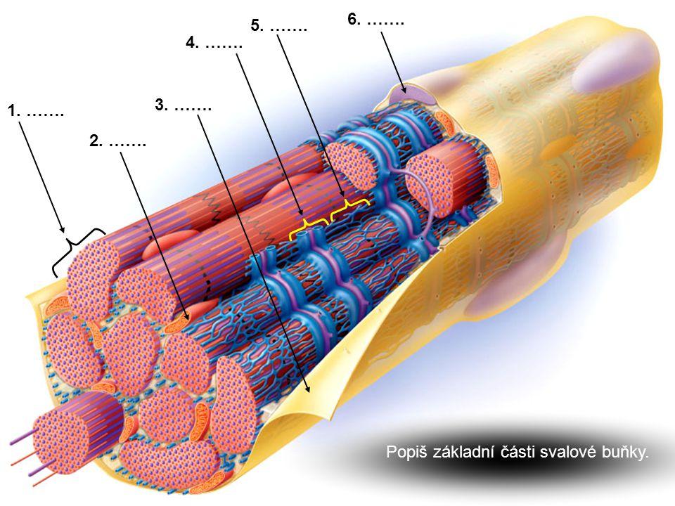 Popiš základní části svalové buňky.