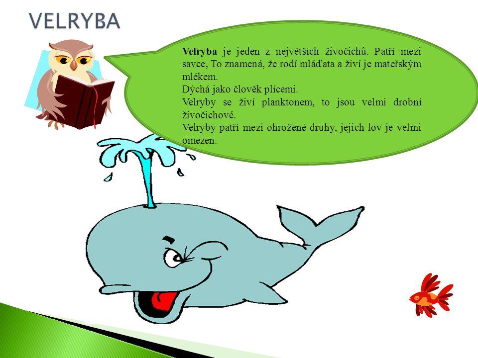 VELRYBA Velryba je jeden z největších živočichů. Patří mezi savce, To znamená, že rodí mláďata a živí je mateřským mlékem.