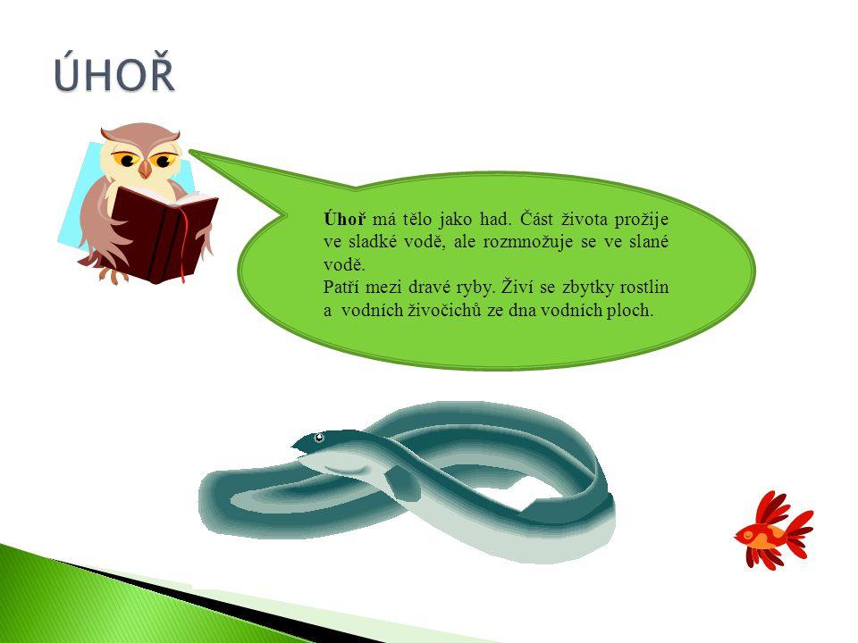 ÚHOŘ Úhoř má tělo jako had. Část života prožije ve sladké vodě, ale rozmnožuje se ve slané vodě.