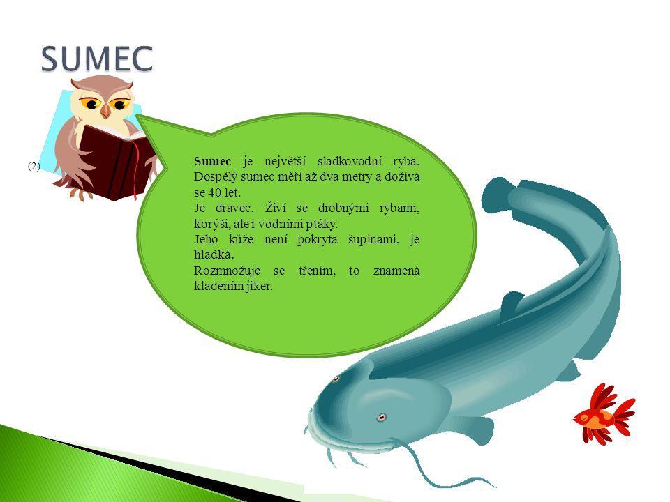 SUMEC Sumec je největší sladkovodní ryba. Dospělý sumec měří až dva metry a dožívá se 40 let.