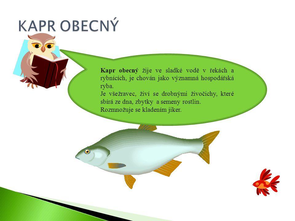 KAPR OBECNÝ Kapr obecný žije ve sladké vodě v řekách a rybnících, je chován jako významná hospodářská ryba.