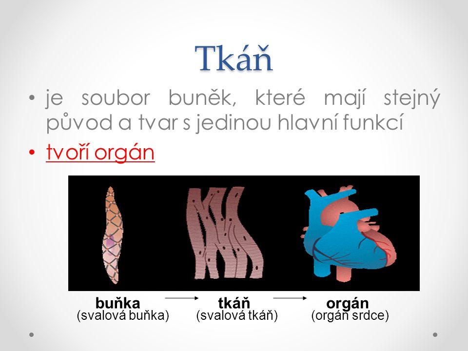Tkáň je soubor buněk, které mají stejný původ a tvar s jedinou hlavní funkcí. tvoří orgán. buňka.