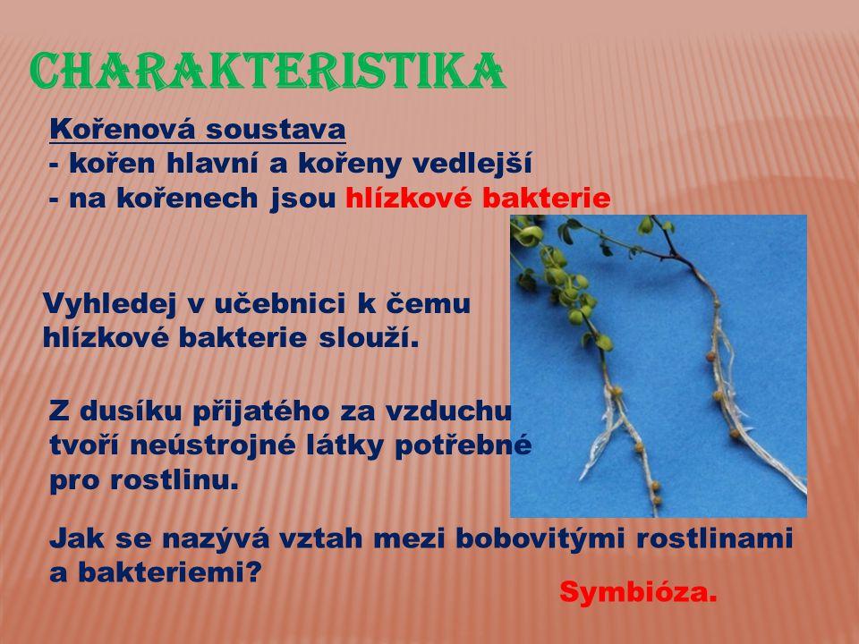 CHarakteristika Kořenová soustava kořen hlavní a kořeny vedlejší