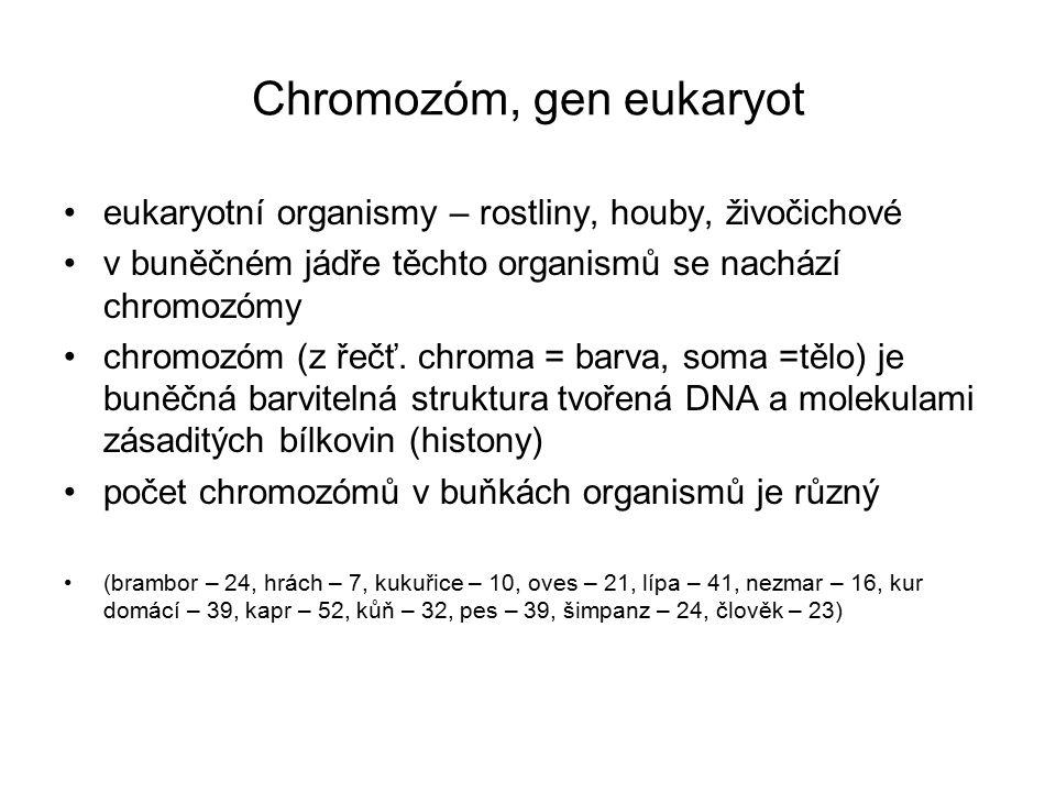 Chromozóm, gen eukaryot