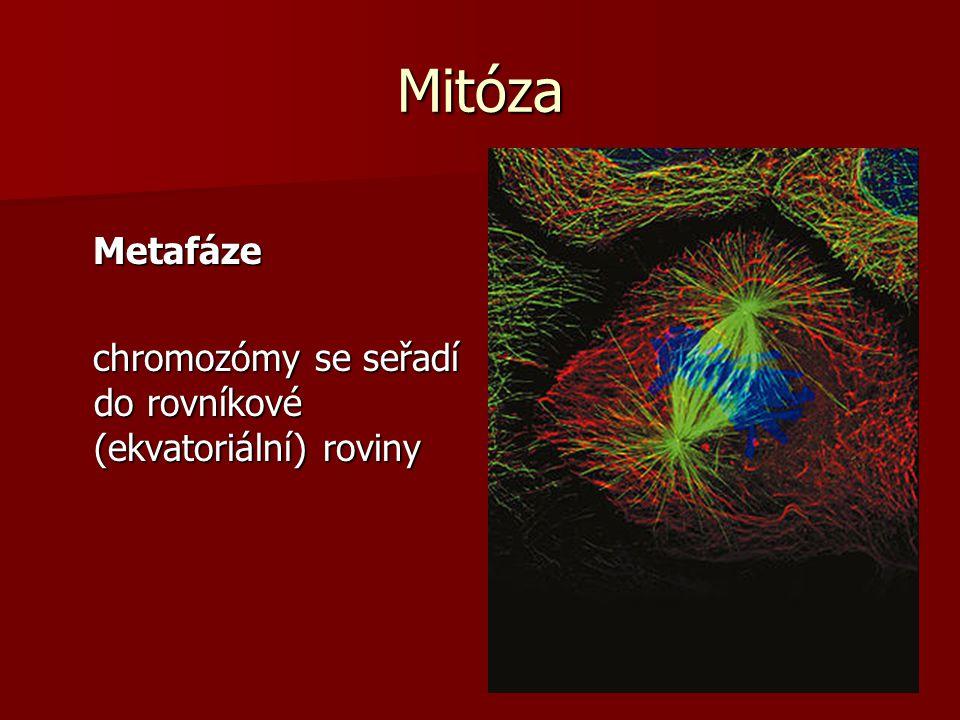 Mitóza Metafáze chromozómy se seřadí do rovníkové (ekvatoriální) roviny