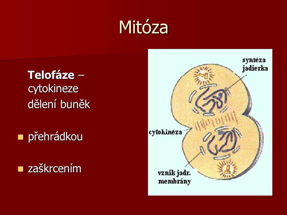 Mitóza Telofáze – cytokineze dělení buněk přehrádkou zaškrcením