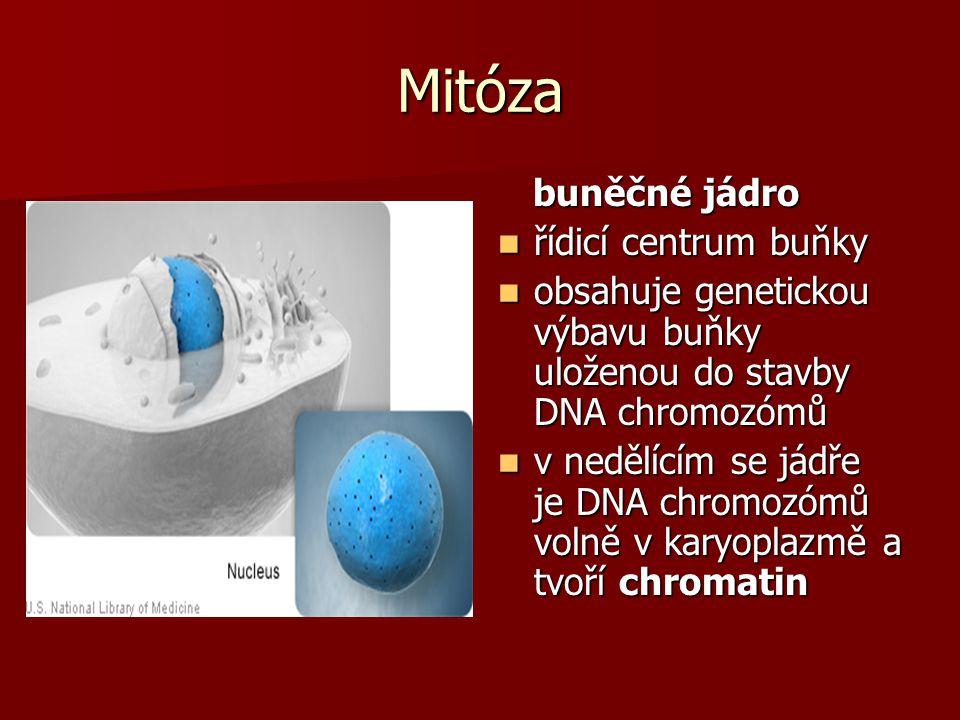 Mitóza buněčné jádro řídicí centrum buňky