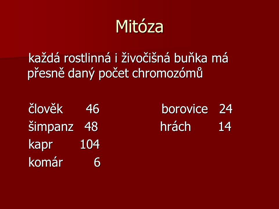 Mitóza každá rostlinná i živočišná buňka má přesně daný počet chromozómů. člověk 46 borovice 24.