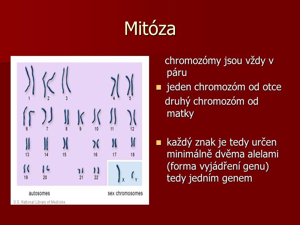 Mitóza chromozómy jsou vždy v páru jeden chromozóm od otce