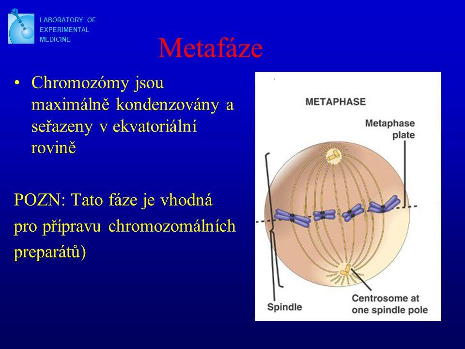 LABORATORY OF EXPERIMENTAL. MEDICINE. Metafáze. Chromozómy jsou maximálně kondenzovány a seřazeny v ekvatoriální rovině.