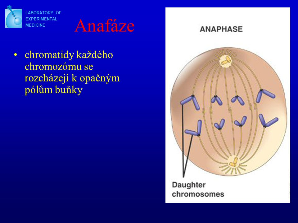 Anafáze LABORATORY OF. EXPERIMENTAL. MEDICINE.