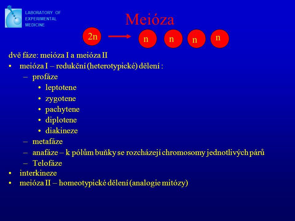 Meióza 2n n n n n dvě fáze: meióza I a meióza II