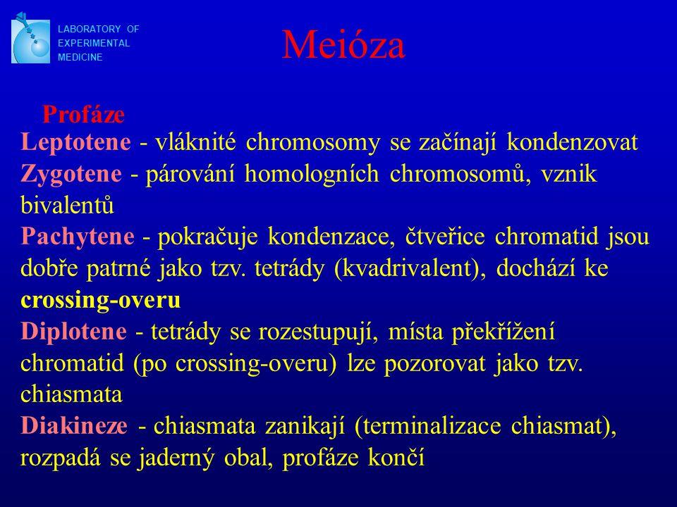 Meióza LABORATORY OF. EXPERIMENTAL. MEDICINE. Profáze.