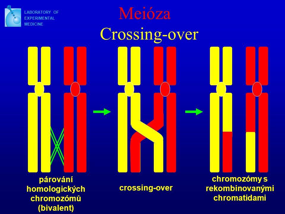 Meióza Crossing-over párování homologických chromozómů (bivalent)