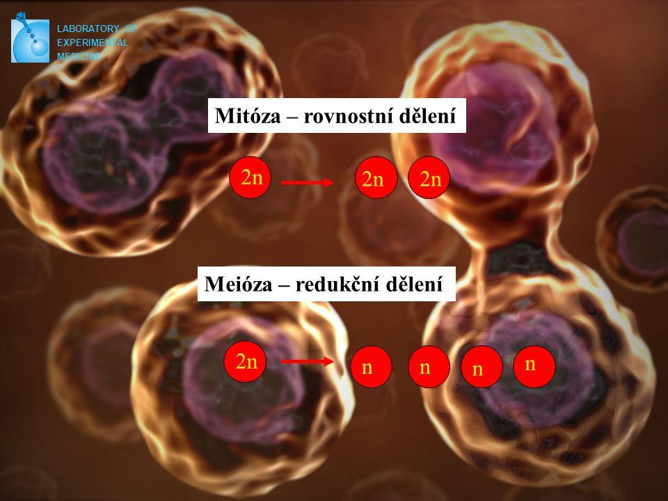 Mitóza – rovnostní dělení