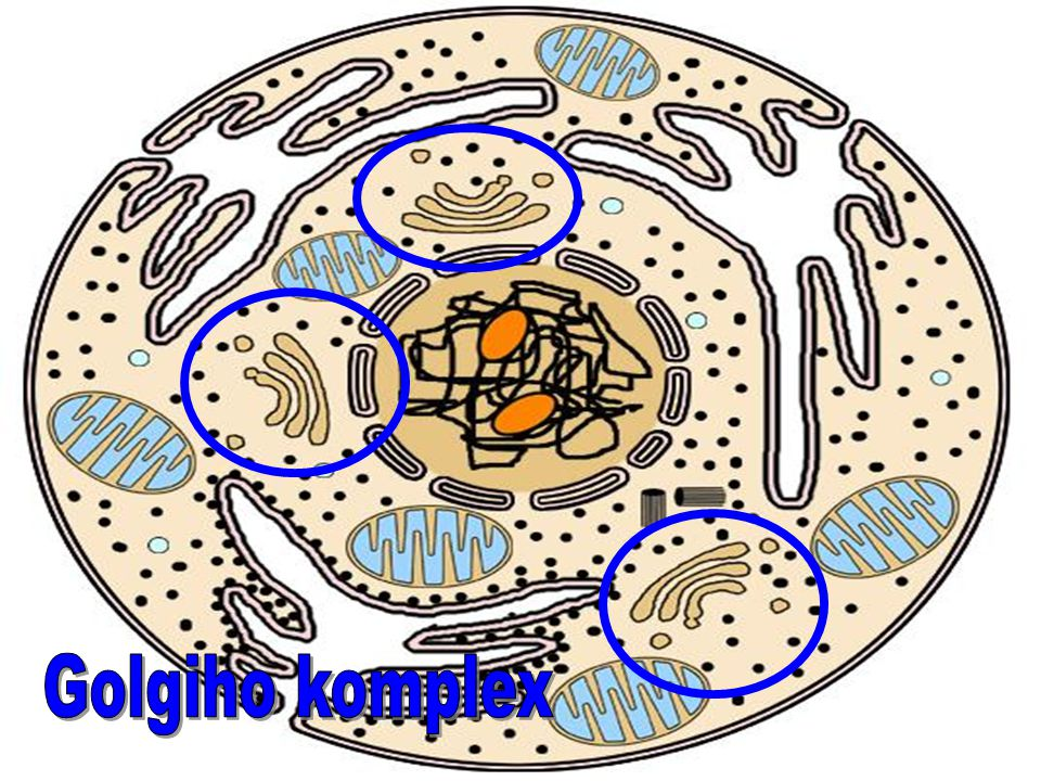 Golgiho komplex
