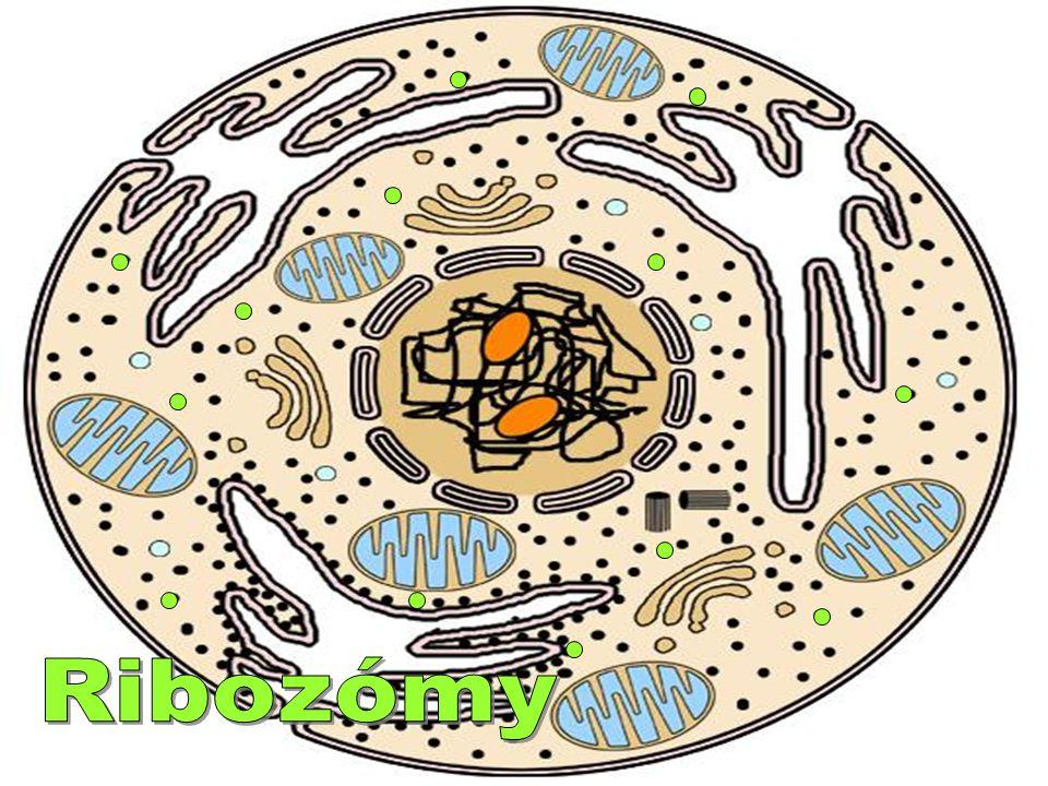 Ribozómy