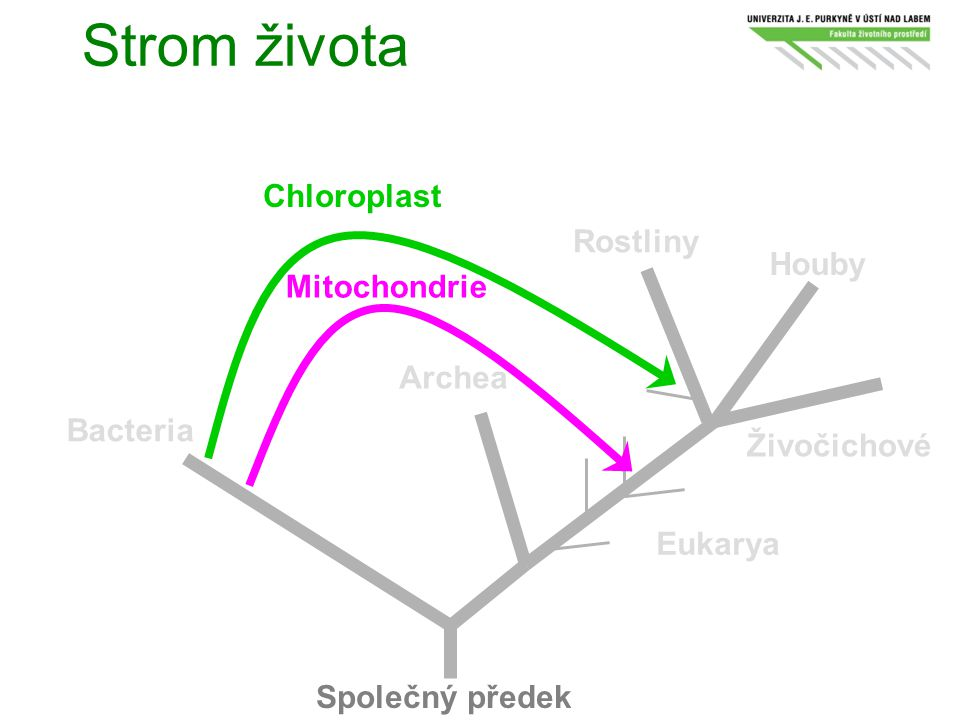 Strom života Chloroplast Rostliny Houby Mitochondrie Archea Bacteria