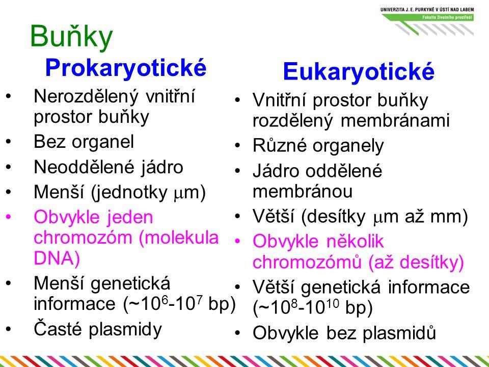 Buňky Prokaryotické Eukaryotické Nerozdělený vnitřní prostor buňky