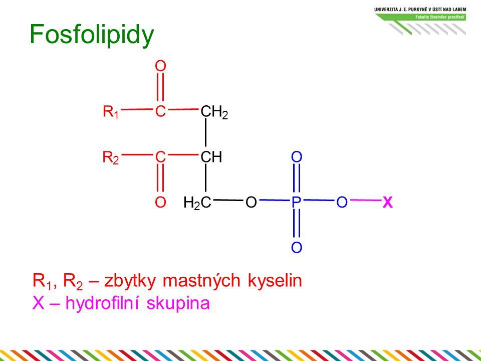Fosfolipidy R1, R2 – zbytky mastných kyselin X – hydrofilní skupina O